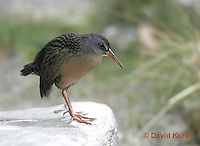 "0102-08oo  Virginia Rail ""Freshwater Marsh Bird"" - Rallus limicola   © David Kuhn/Dwight Kuhn Photography."