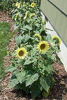 Dwarf Sunflowers growing next to house (Helianthus annuus)
