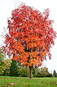 Japanese rowan tree (Sorbus commixta), end October.