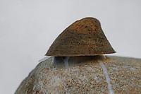 Flussmützenschnecke, Flußmützenschnecke, Flussmützen-Schnecke, Flussnapfschnecke, Flußnapfschnecke, Fluß-Napfschnecke, Ancylus fluviatilis, Ancylastrum fluviatilis, River limpet