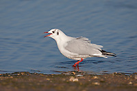 Black-headed Gull - Chroicocephalus ridibundus - winter adult.  L 35-38cm. Our most numerous medium-sized gull. Plumage variable but white leading edge to outerwings is consistent feature. Forms single-species flocks. Sexes are similar. Adult in summer has grey back and upperwings, white underparts and chocolate-brown hood. Legs and bill are red. In flight, trailing edge of outerwing is black. In winter, loses dark hood; white head has dark smudges above behind eye. Juvenile has orange-brown flush to upperparts, dark feathers on back, dark smudges on head, and dark tip to tail. Acquires adult plumage by 2nd winter through successive moults. 1st winter bird retains many juvenile plumage details but loses rufous elements and gains grey back. 1st summer bird still has juvenile-type wing pattern but gains dark hood. Voice Raucous calls include a nasal kaurrr. Status Widespread and numerous. Commonest on coasts and inland freshwater sites, but also in towns and on farmland; often follows the plough. Nests colonially beside water. Migrants from Europe boost winter numbers.