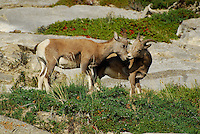 Wildlife photo of big horn ewes, high on a mountain cliff, stop grazing to share some affection.