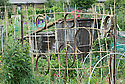 Decorative support for climbing plants on an allotment, late June.