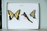 butterfly, insect, specimens, collection, Rocky Mountain National Park, Rocky Mountain Butterfly Project, Colorado, research