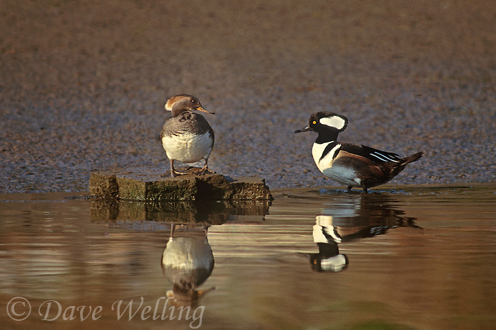 559287007 a male and female hooded merganser lophodytes cucullatus at the edge of an estuary near santa barbara california