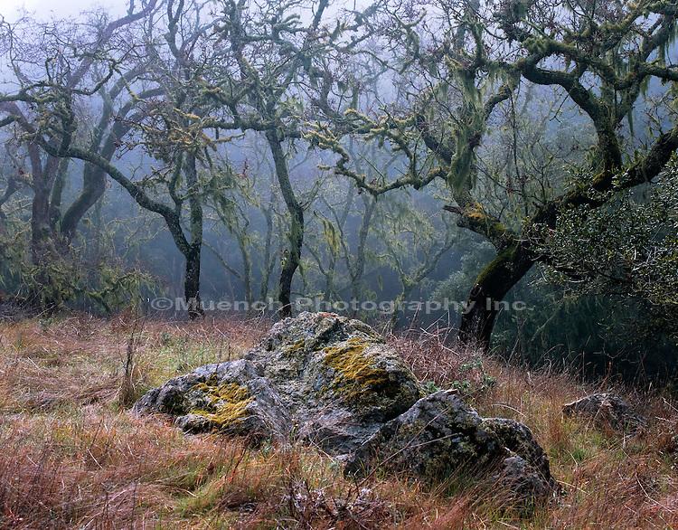 Oak trees   CALIFORNIA