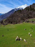 Schafweide im Ortsteil Vellau, Algund-Lagundo, Provinz Bozen &ndash; S&uuml;dtirol, Italien<br /> sheep pasture in district Vellau, Algund-Lagundo, province Bozen-South Tyrol, Italy