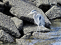 Great Blue Heron bird hunting on riprap along the Port Orchard marina shoreline. Stock photography by Olympic Photo Group