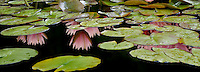Water lilies in bloom in pond.with reflection. Oregon
