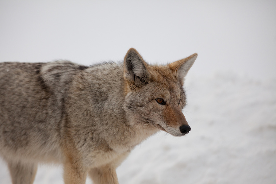 A close-up view of a coyote seen walking near the road in Yellowstone National Park during the winter months.