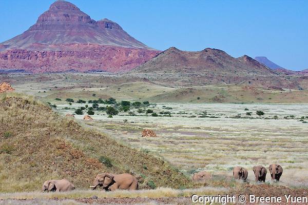 A family of desert elephants take their morning walk on their way to the mud bath pool!  Damaraland, Namibia, April 2008