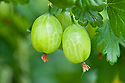 Gooseberry 'Greenfinch', late May.