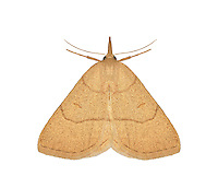 72.051 (2494)<br /> Clay fan-foot - Paracolax tristalis