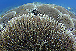 Branching hard coral, Porites sp., Spice Islands, Maluku Region, Halmahera, Indonesia, Pacific Ocean