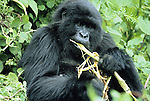 Wild mountain gorilla in cloud forest habitat.