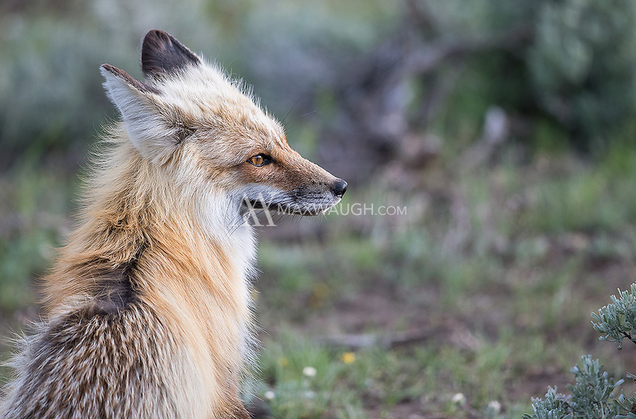 A fox rests for a moment before resuming its hunt in the Lamar Valley.