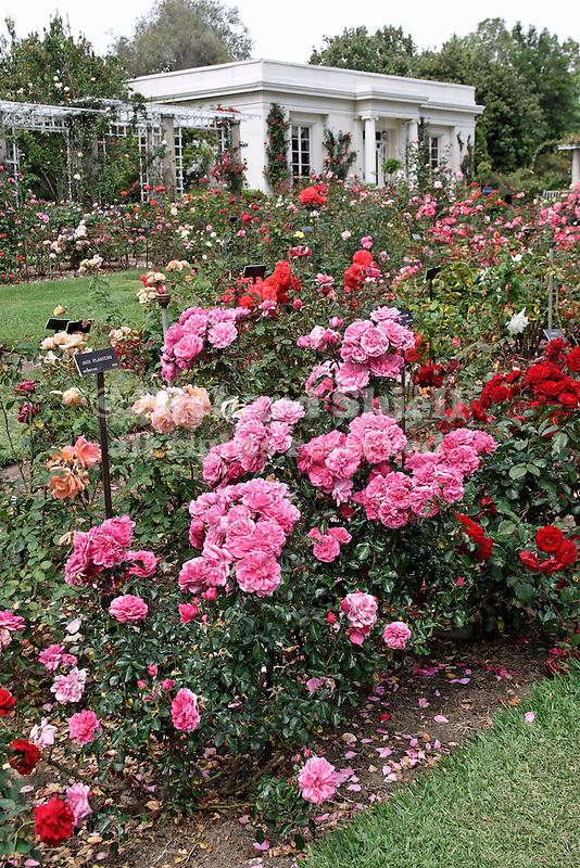 JASPER ROSE IN ROSE GARDEN, ROSA HYBRID, FLORIBUNDA