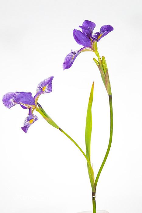 30099-00104 Blue Flag Iris (Iris versicolor) with white background, Marion Co., IL