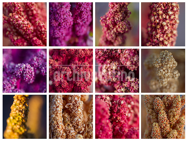 A picture dated April, 2013 shows a collage of quinoa plants from the Jirira region of Bolivia, one of the best Quinoa Real in the world.  2013  was declared the international year of Quinoa by the UN.  Bolivia is the main producer of quinoa in the world.