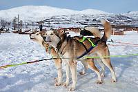 Alaskan Huskies eagerly wait at Villmarkssenter wilderness adventure centre on Kvaloya Island, Tromso in Arctic Circle Northern Norway