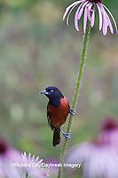 01618-01218 Orchard Oriole (Icterus spurius) male on Pale Purple Coneflower (Echinacea pallida)   Marion Co., IL