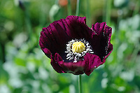 Papaver somniferum (Opium Poppies)