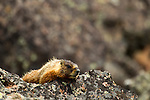 A yellow bellied marmot peaks over a rock in Yellowstone National Park, May 31, 2011. Photo by Gus Curtis.