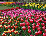 "Skagit County, WA               <br /> A variety of spring flowering tulips with weathered split rail fence in the background in the RoozenGaarde garden.     ""Courtesy of the Washington Bulb Co. Inc."""