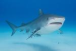 Tiger Beach, Grand Bahama Island, Bahamas; a large, female tiger shark swimming over the shallow, sandy bottom at Tiger Beach