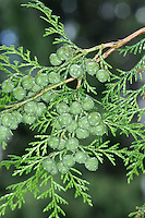 Hinoki Cypress Chamaecyparis obtusa (Cupressaceae) HEIGHT to 25m. Evergreen; recalls Lawson's Cypress. BARK Reddish and soft. BRANCHES Mainly level. LEAVES Blunt-pointed, bright green with white lines below, eucalyptus-scented; in flat sprays. REPRODUCTIVE PARTS Rounded female cones blue-green at first, yellowing with age. Male cones small, reddish-yellow. STATUS AND DISTRIBUTION Native of Japan and Taiwan. Introduced to Britain in 1861; grows best in wetter areas.