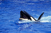Killer whale at the Sea World show in San Diego Zoo, California, USA