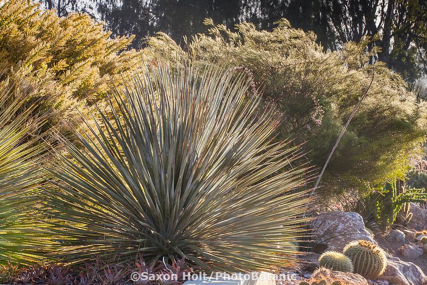 Dasylirion wheeleri (Spoon Yucca) Patrick Anderson San Diego California Garden