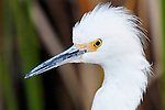 Egret Profile 2, Upper Newport Bay, CA