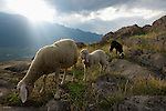 Sheep grazing, Alps, Italy