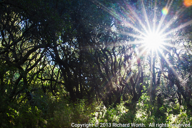 A sunburst shines through a grove of trees in the woods at Anthony Chabot Regional Park in Oakland, California.