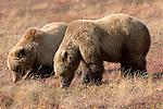 Brown bears, Denali National Park, Alaska, USA