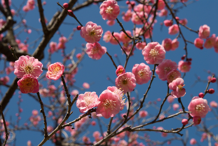 Sometimes, in late Japanese winter, spring feels a long way away, an impossible dream. The nights are cold, the days still crisp, buildings chilly inside. So when the ume plums begin to bloom in the chill before the equinox, they mark the start of a new season, the promise of warmer days.