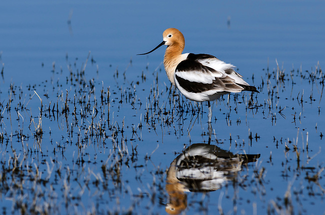 American Avocet in Malheur National Wildlife Refuge, Oregon, USA
