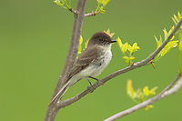 Eastern Phoebe (Sayornis phoebe) .  Great Lakes region.  May.