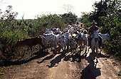 Amazon, Brazil. Gauchos on horse back herding zebu cattle on a cattle ranch.