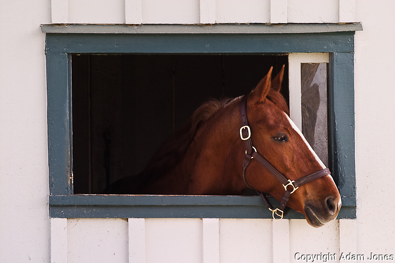 Thoroughbred race horse looking out of window in horse barn, Kentucky Horse Park, Lexington, Kentucky