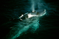 fin whale, balaenoptera physalus, at surface, Sea of Cortez, Mexico, Pacific Ocean