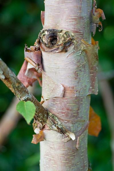 Betula albo-sinensis Ness (Clone F)