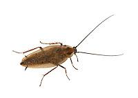 Dusky Cockroach - Ectobius lapponicus - male