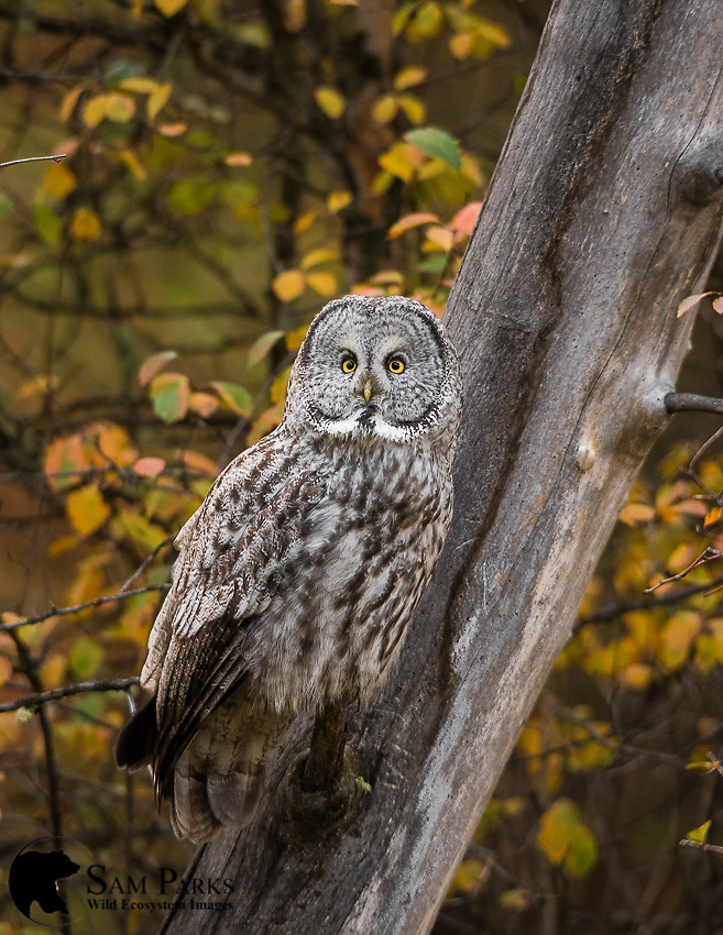 Great gray owl perched in fall foliage. Grand Teton National Park, Wyoming.