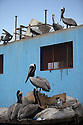 18/02/16 <br /> <br /> Pelicans feed from waste bins at Panama City fish market, Panama.<br /> <br /> All Rights Reserved: F Stop Press Ltd. +44(0)1335 418365   +44 (0)7765 242650 www.fstoppress.com