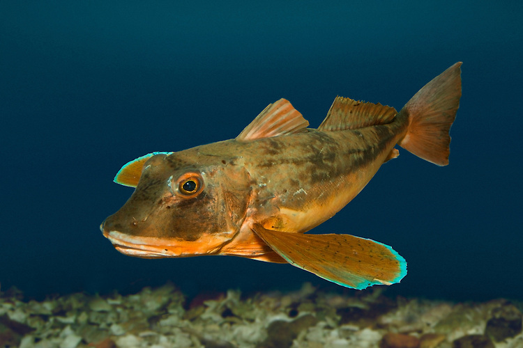 Tub Gurnard - Trigla lucerna (formerly Chelidonichthys lucerna) Length to 55cm<br /> Attractive fish. Favours sandy and mixed substrates; found in inshore waters in summer. Adult has large head and eyes; forehead slopes abruptly. Pectoral fins extend beyond vent; lowest 3 rays lack webbing and are tactile. Lateral line is not spiny. Overall orange-brown; pectoral fins are often yellow with a blue margin. Locally common in S and W; scarce or absent from E coasts.
