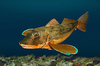 Tub Gurnard - Trigla lucerna (formerly Chelidonichthys lucerna) Length to 55cm<br />