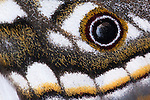 Marbled emperor moth detail, Heniocha species, Kgalagadi Transfrrontier Park, Northern Caoe, South Africa