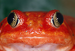 Portrait of a tomato frog